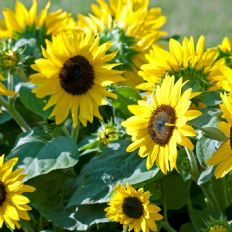 Helianthus annuus Sunspot Gold -  50g Bulk Discounts available